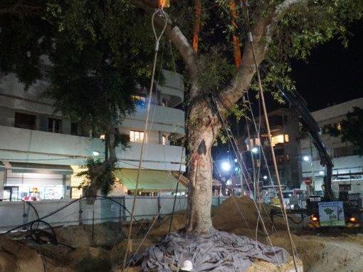 דיזינגוף – העתקת עץ פיקוס